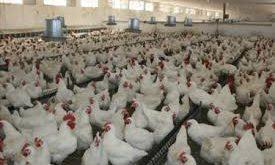 خرید صدف معدنی سایز گرانول جهت مصرف مرغداری