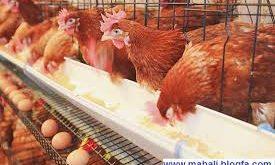 صدف معدنی شکری جهت مصرف مرغ تخمگذار جوان