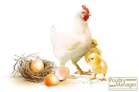 مهمترین تاثیرات پودر صدف معدنی در مرغ مادر