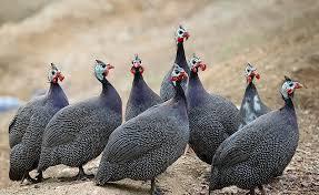 انواع پودر صدف معدنی جیره غذایی پرورش پرندگان