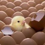 تاثیر پودر صدف معدنی استحکام بخشیدن پوسته تخم مرغ