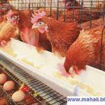 مزایا کلسیم صدف معدنی گلستان برای مرغ تخمگذار
