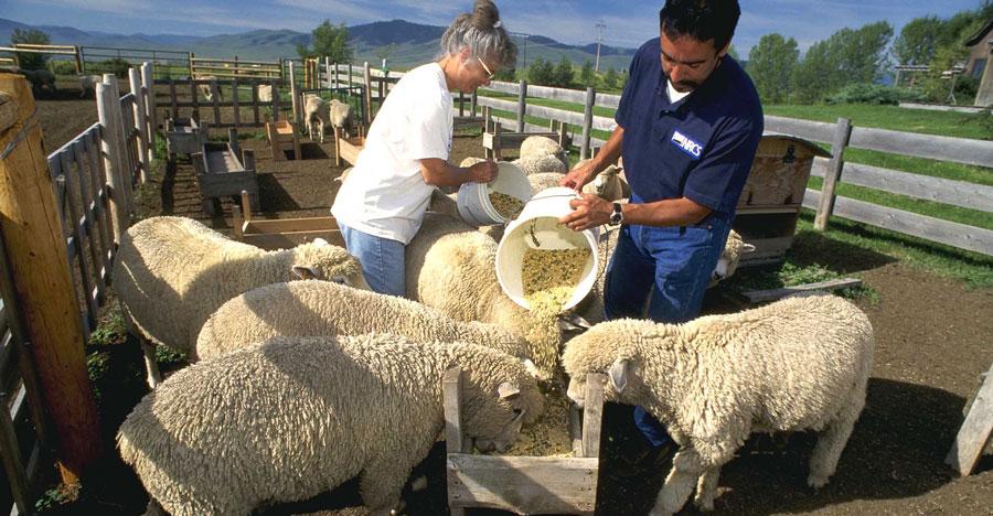 کنسانتره گوسفند پرواری